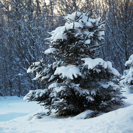 pine forest in snow Stock Photo - 8678594