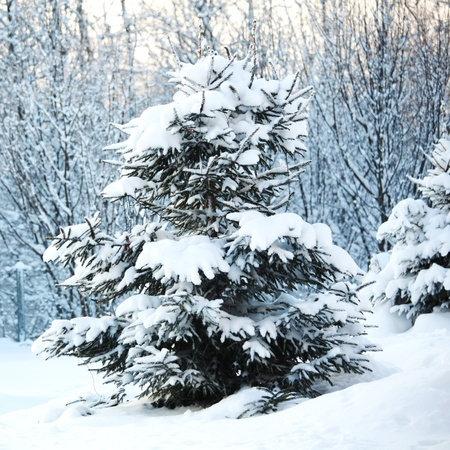 pine forest in snow Stock Photo - 8678592