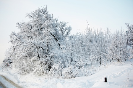 pine forest in snow Stock Photo - 8676607