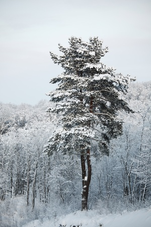 pine forest in snow Stock Photo - 8676021