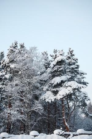 pine forest in snow Stock Photo - 8678567