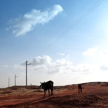 cow in desert try find food photo