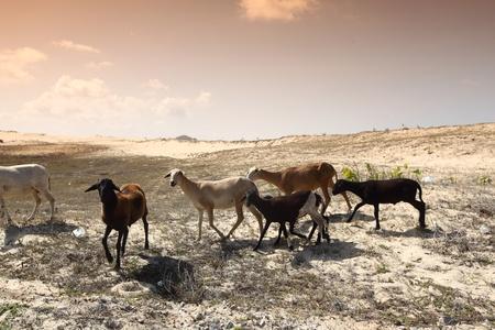 mountain goats: capre nel deserto di provare a trovare cibo Archivio Fotografico