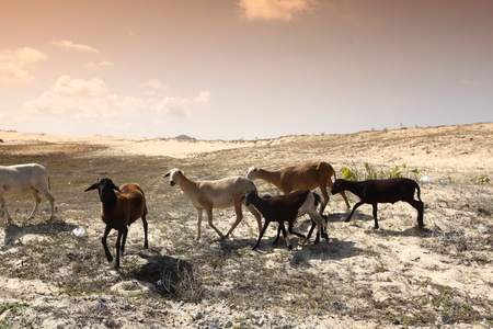 mountain goat: goats in desert try find food Stock Photo