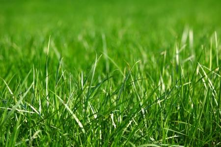grass close up: green grass macro close up