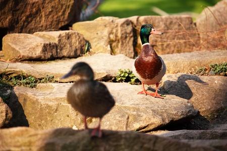 duck in zoo macro close up photo