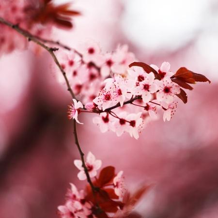 arbol de cerezo: primer plano macro sacura Rosa Foto de archivo