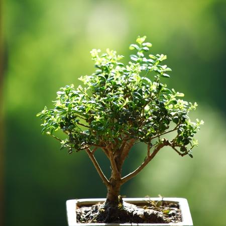 bonsai on green grass background photo