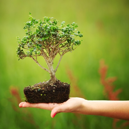 tree decorations: bonsai in hands on green grass background Stock Photo