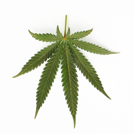 cannabis leaf isolated on white background Stock Photo - 8743954