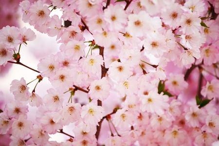 pink sacura macro close up photo