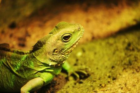 brute: close up lizard in zoo Stock Photo