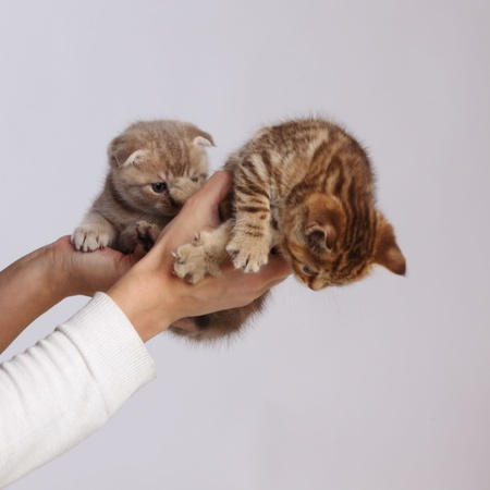 cat in hands isolated on white background photo