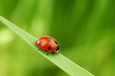 ladybug on grass nature background photo