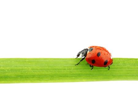ladybug on grass isolated macro photo