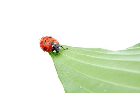 ladybug on big green leaf photo
