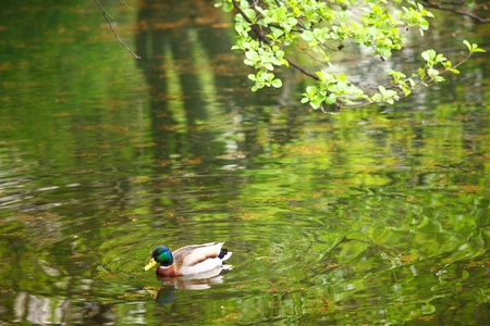 duck in green pond photo