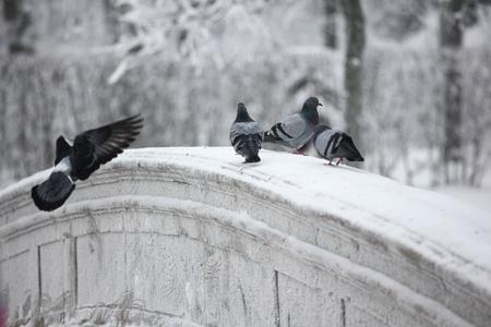 pigeons on winter snow background photo