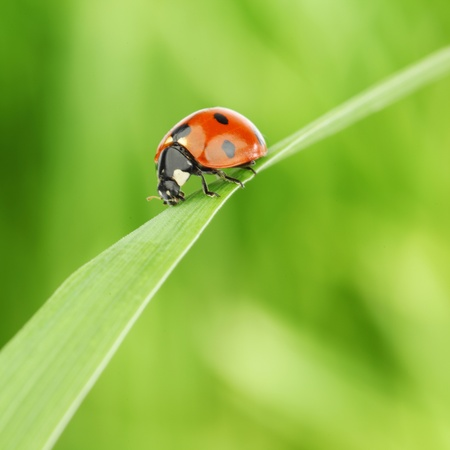 ladybug on grass green on background photo