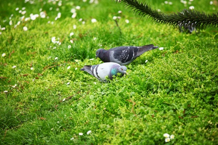 pigeon in the green grass photo