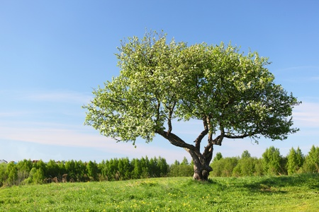 roble arbol: solo �rbol en campo de hierba verde