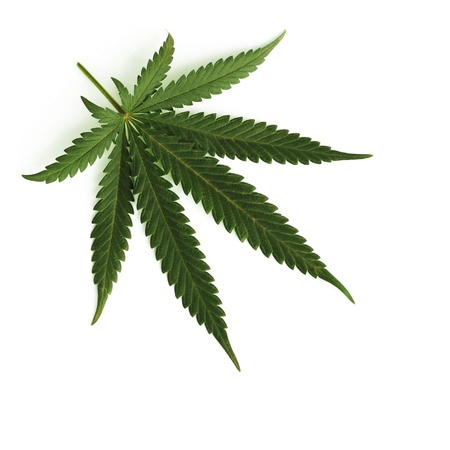 unlawful: cannabis leaf isolated on white background