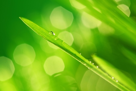 dews: water drops on grass blade nature background