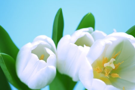 white tulip isolated on blue photo