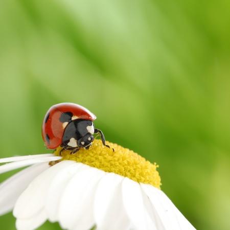 big red ladybug on camomile grass background photo