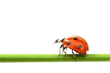 ladybug on grass isolated on white background Stock Photo - 9122104