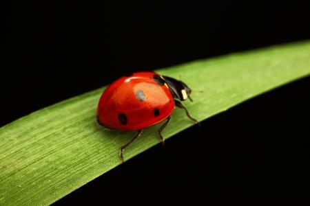 käfer: Marienk�fer auf Gras isolated on white background Lizenzfreie Bilder