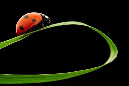 ladybug on grass isolated black background Stock Photo - 9173581