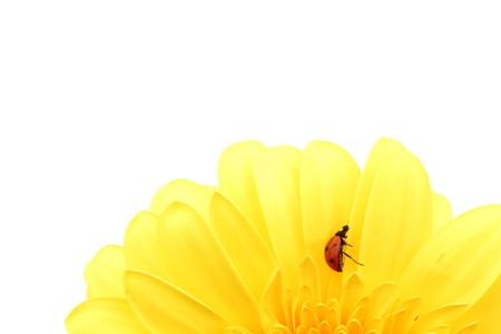 ladybug on yellow flower isolated on white background photo