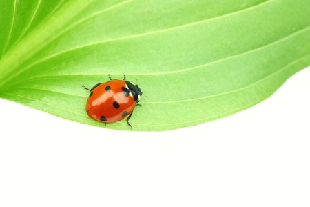 ladybug on leaf isolated on white Stock Photo - 9175090