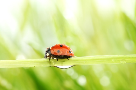ladybug on grass in water drops Stock Photo - 9175188