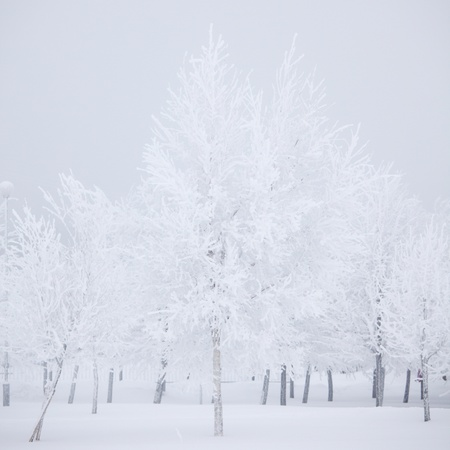 winter trees on snow white background Stock Photo - 9174889