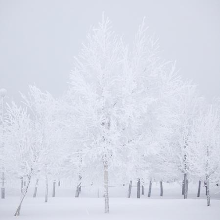 winter trees on snow white background Stock Photo - 9174889