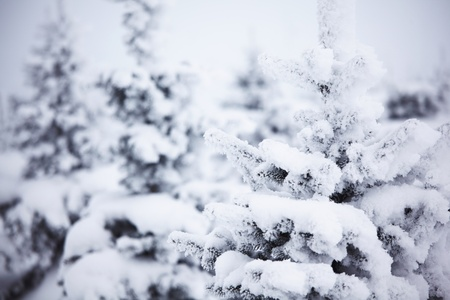 winter trees on snow white background