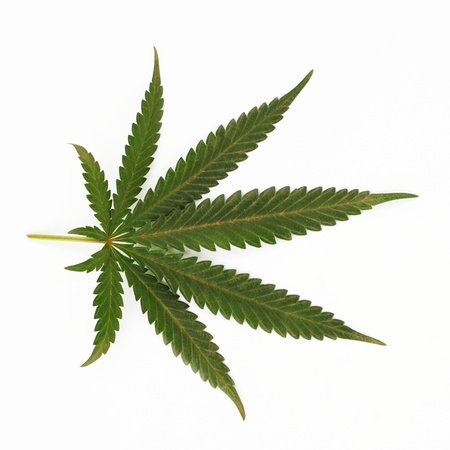 plant drug: cannabis leaf isolated on white background