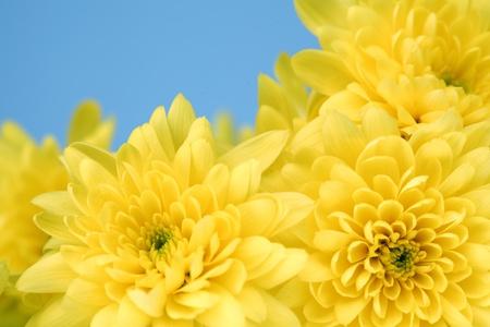 yellow chrysanthemum macro close up photo