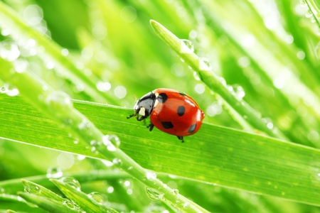 ladybug on grass in water drops Stock Photo - 9264507
