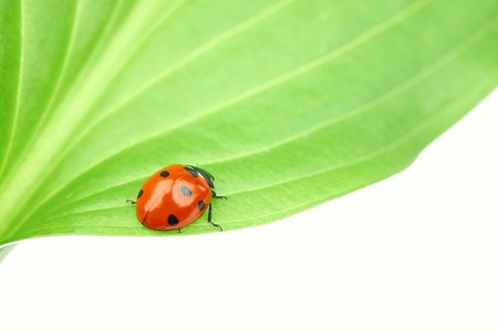 ladybug on leaf isolated on white Stock Photo - 9264374