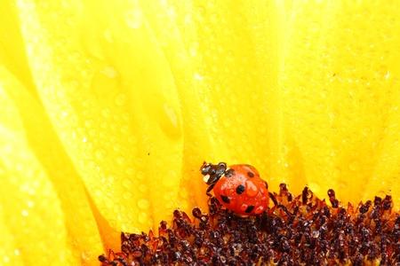 ladybug on sunflower isolated white background photo