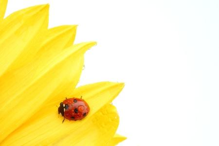 sunflower isolated: coccinella su girasole isolato sfondo bianco