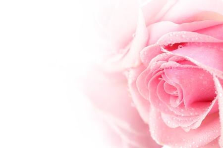 pink rose: pink rose macro close up
