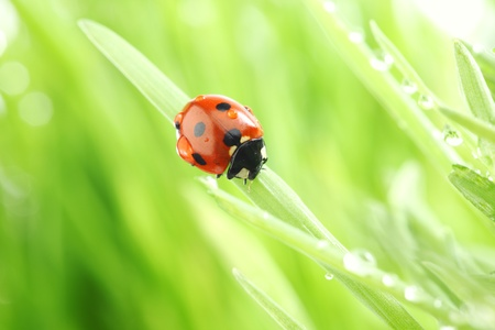 ladybug on grass nature background in waterdrops photo