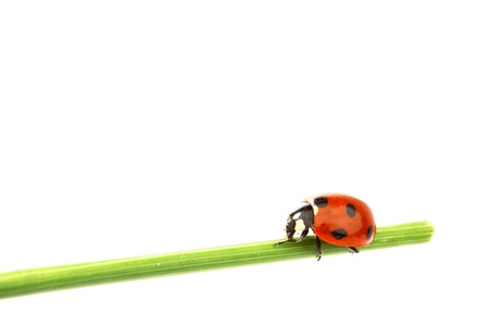 ladybug on grass isolated on white background photo