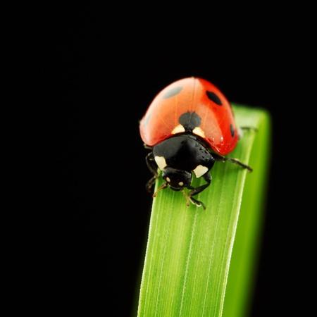 ladybug on grass isolated black background photo