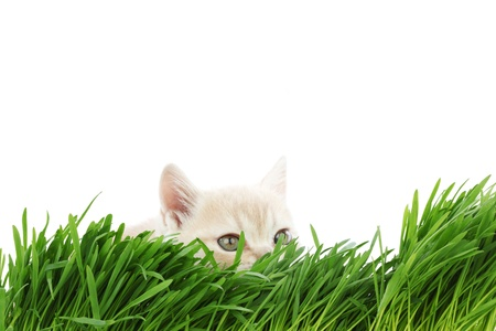 catnip: cat behind grass isolated on white background