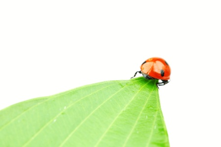 ladybug on leaf isolated on white photo